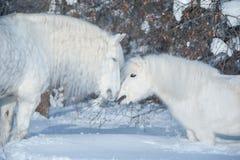 Twee witte paarden die op de winterachtergrond kussen stock foto's