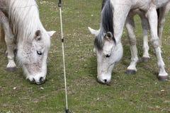 Twee paarden die gras eten. Stock Foto