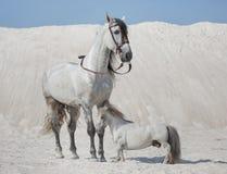 Twee witte paarden op de woestijn Royalty-vrije Stock Afbeeldingen