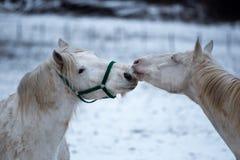 Twee witte paardenliefde elkaar royalty-vrije stock afbeeldingen