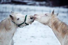 Twee witte paardenliefde elkaar royalty-vrije stock foto's