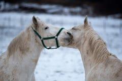 Twee witte paardenliefde elkaar stock foto