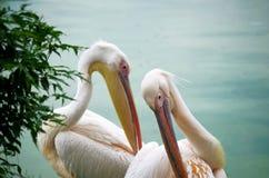 Twee witte pelikanen Stock Afbeeldingen