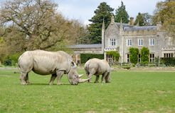 Twee witte Rinocerossen met een staely huis op de achtergrond Royalty-vrije Stock Foto