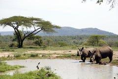 Twee witte rinocerossen in NP, Afrika Royalty-vrije Stock Fotografie