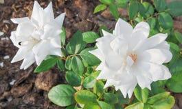 Twee witte rozen stock fotografie