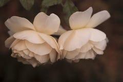 Twee witte rozen Royalty-vrije Stock Afbeelding