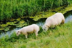 Twee witte sheeps die op een groene weide weiden royalty-vrije stock foto