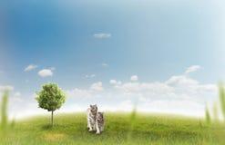 Twee witte tijgers Stock Foto's