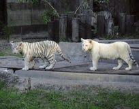 Twee witte tijgers Stock Foto