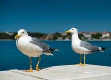 Twee witte zeemeeuwen Royalty-vrije Stock Afbeeldingen