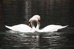Twee witte zwanen royalty-vrije stock afbeelding