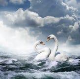 Twee witte zwanen Stock Afbeelding