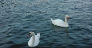 Twee witte zwanen die in blauw water drijven stock videobeelden