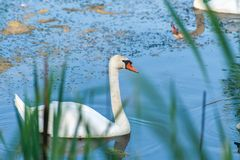 Twee witte zwanen - echte één en één een weerspiegeling van tweede op het blauwe water met vaag riet op de voorzijde stock afbeeldingen