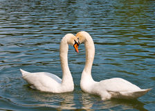 Twee witte zwanen in liefde Royalty-vrije Stock Afbeelding