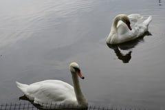 Twee witte zwanen zwemmen in het meer in het Park op een de zomerdag stock afbeelding