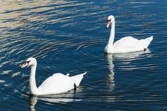 Twee witte zwanen zwemmen langs het water Stock Afbeeldingen