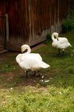 Twee witte zwanentribune in het gras Stock Fotografie