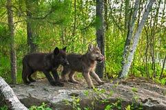 Twee Wolf Pups (Canis-wolfszweer) Tribune op Rots Royalty-vrije Stock Fotografie