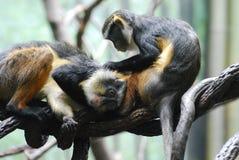Twee Wolf ` s Mona Monkeys Grooming Each Other op een Tak stock afbeeldingen