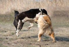 Twee wolfshonden vechten op hondstrijden Royalty-vrije Stock Fotografie