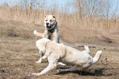 Twee wolfshonden vechten op hondstrijden Stock Afbeelding