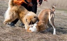 Twee wolfshonden vechten op hondstrijden Stock Fotografie