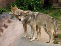 Twee wolven Royalty-vrije Stock Foto
