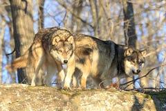 Twee wolven die naar doden besluipen royalty-vrije stock afbeelding