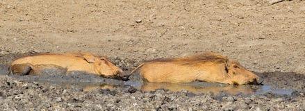 Twee Wrattenzwijnen die zich in modder wentelen stock fotografie