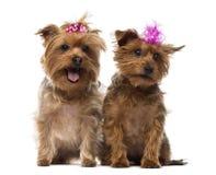 Twee Yorkshire die Terrier bogen, het hijgen, het zitten dragen Stock Afbeeldingen