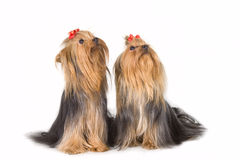 Twee Yorkshireterriers op wit Stock Foto's