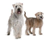 Twee zacht-Met een laag bedekte Wheaten Terriers, status royalty-vrije stock afbeeldingen