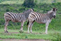 Twee Zebra van Burchell Royalty-vrije Stock Fotografie