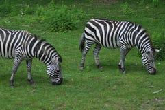 Twee Zebras Stock Afbeeldingen