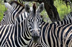 Twee Zebras royalty-vrije stock fotografie