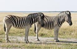 Twee Zebras Royalty-vrije Stock Foto