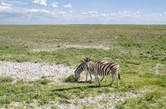 Twee Zebras Stock Foto