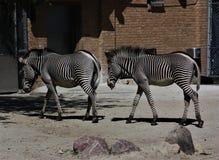 Twee Zebras Royalty-vrije Stock Afbeeldingen