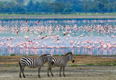 Twee zebras in de achtergrondflamingo kenia tanzania Nationaal Park serengeti Maasai Mara royalty-vrije stock foto's