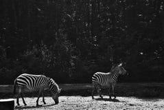 Twee zebras in de dierentuin stock foto's