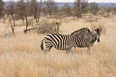 Twee zebras die in de struik, het Nationale park van Kruger, Zuid-Afrika lopen Stock Fotografie