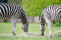 Twee Zebras die hetzelfde hooi in een het wildpark smakken Royalty-vrije Stock Afbeeldingen