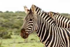 Twee zebras die zich verenigen Royalty-vrije Stock Afbeeldingen