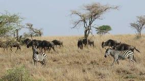 Twee zebras en een kudde van meest wildebeest gans die onder het hoge droge gras in savagete van Serengeti in droog seizoen lopen stock videobeelden
