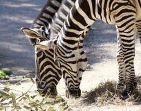 Twee zebras het eten Royalty-vrije Stock Afbeeldingen