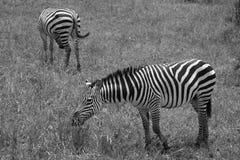 Twee Zebras in het Zwart-witte weiden Royalty-vrije Stock Foto's