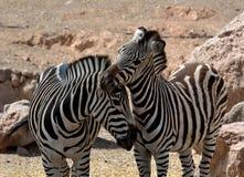 Twee zebras in liefde Stock Afbeeldingen