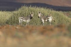 Twee zebras in Palmwag-concessie royalty-vrije stock afbeeldingen